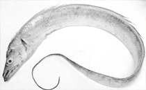 冻带鱼怎么做好吃 带鱼的详细做法及步骤